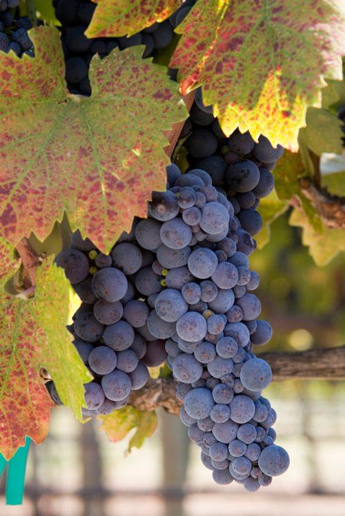 Dedicados al vino
