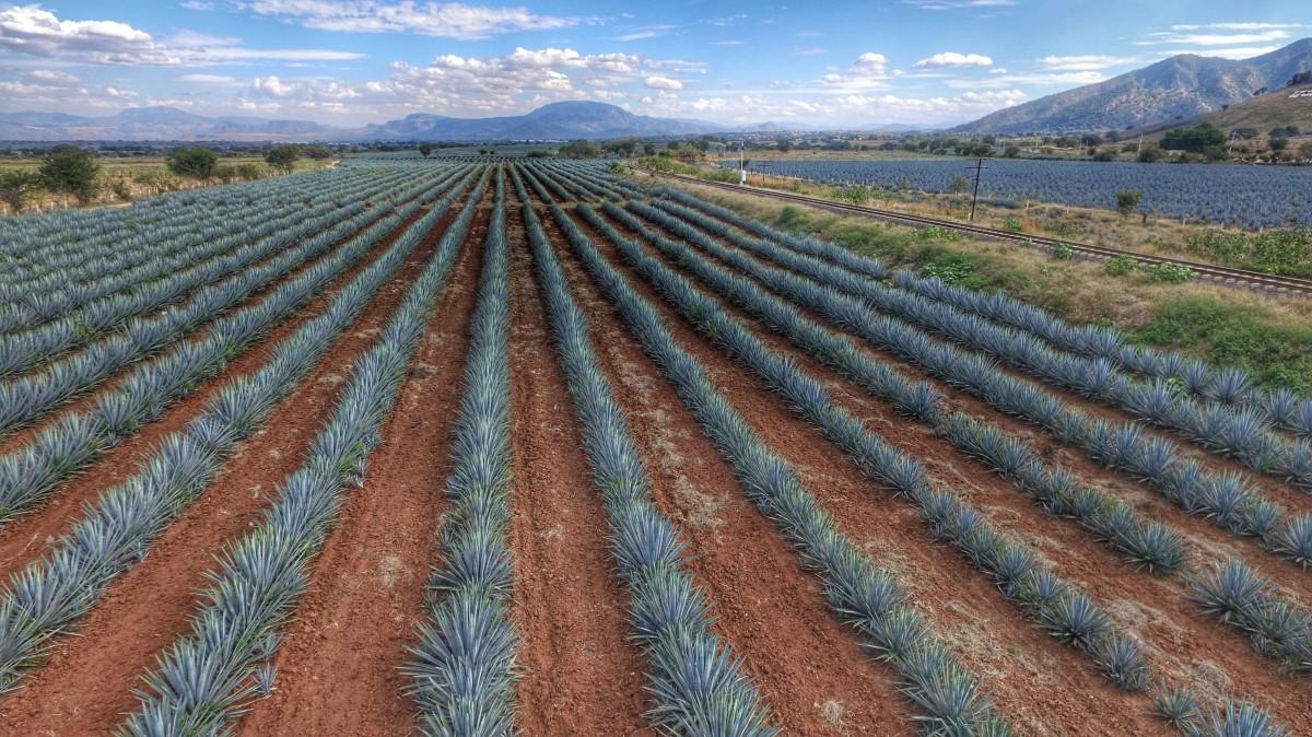 El agave tiene un nuevo espacio en Jalisco
