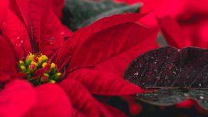 Plantas representativas de la Navidad