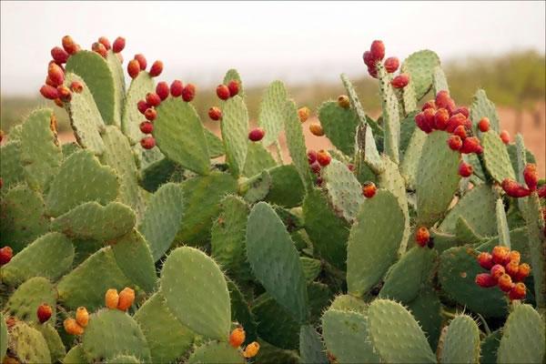 Nopal, tesoro verde de México