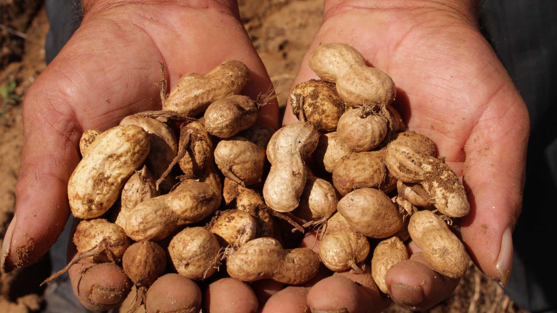 Cacahuate, el cacao de la tierra