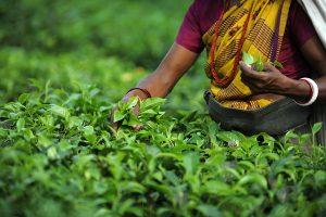 Los tés de Assam
