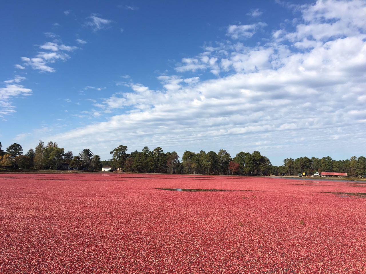 Explorando los campos de arándanos de Ocean Spray