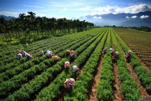 Taiwán y sus tés