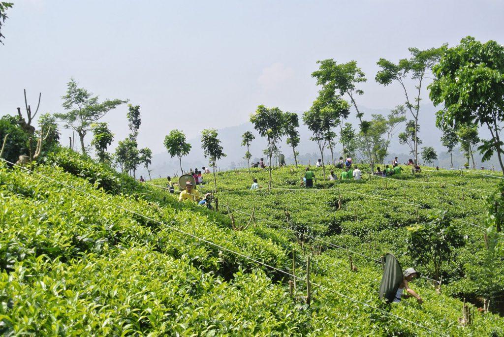 Sri Lanka y sus tés