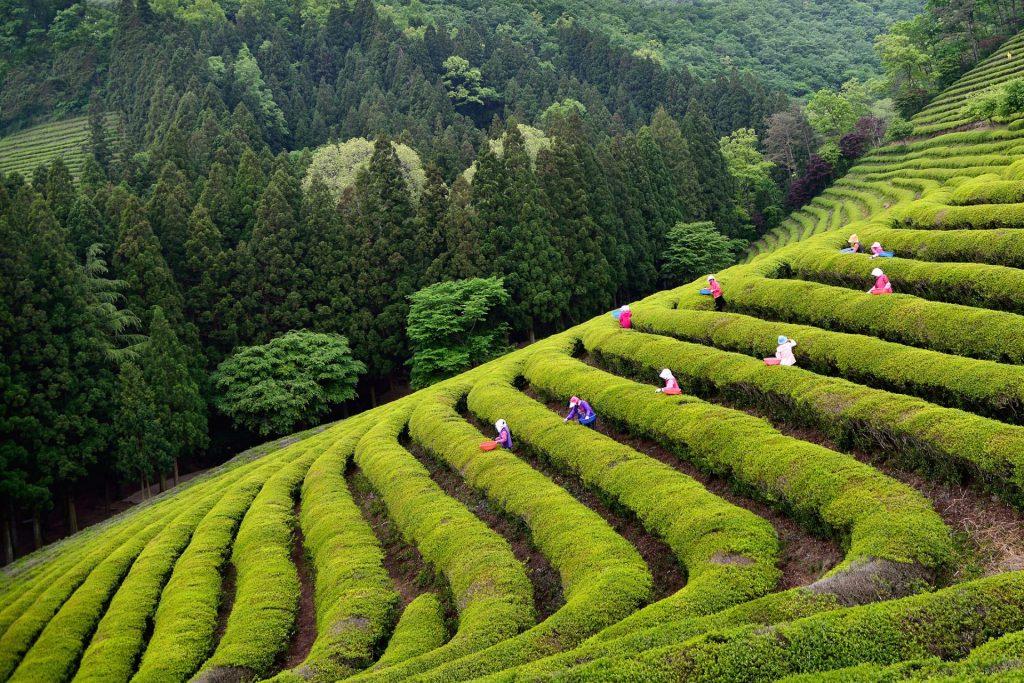 Corea: el secreto mejor guardado del té asiático
