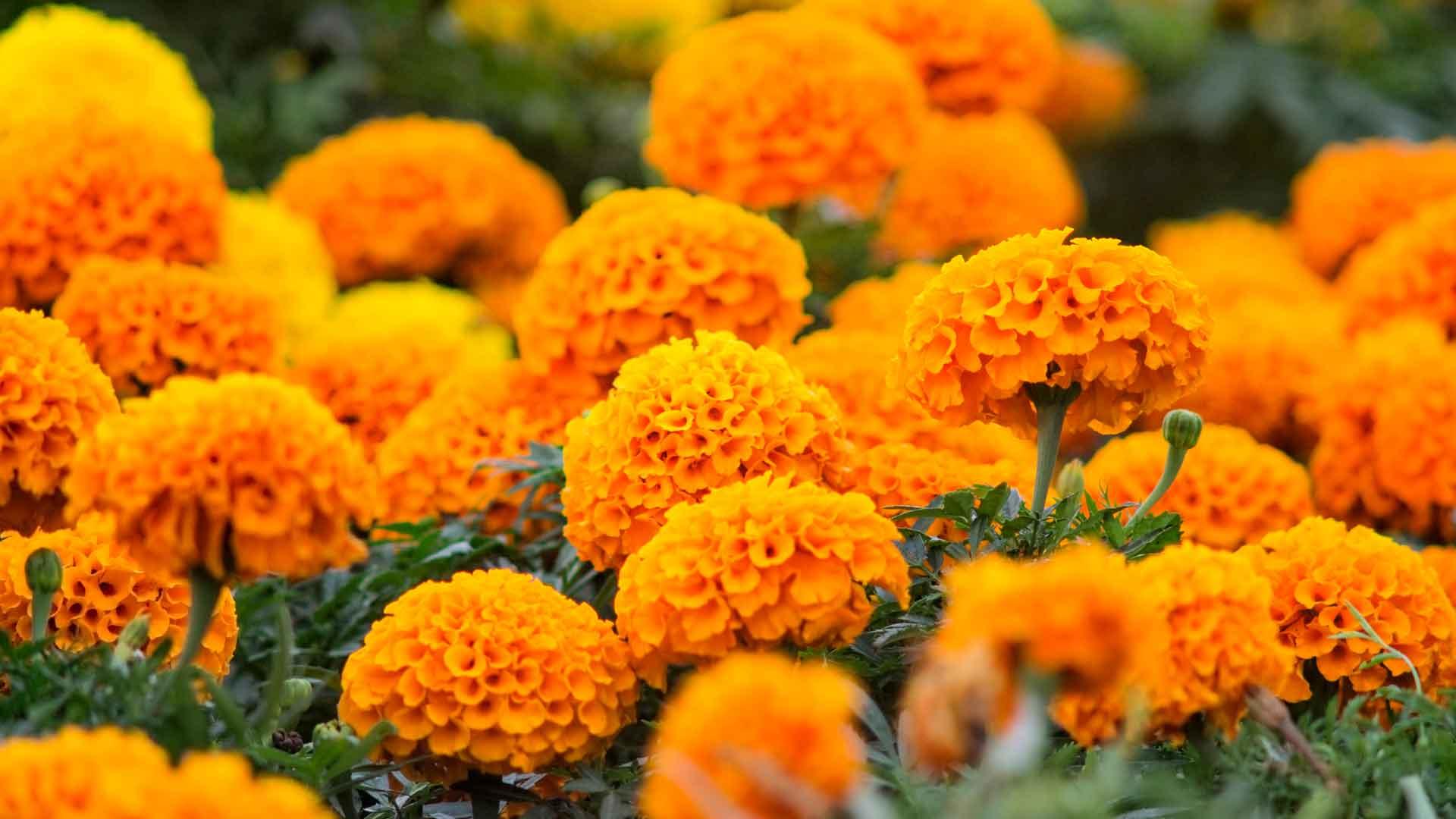 Cempasúchil La Flor De Los Muertos