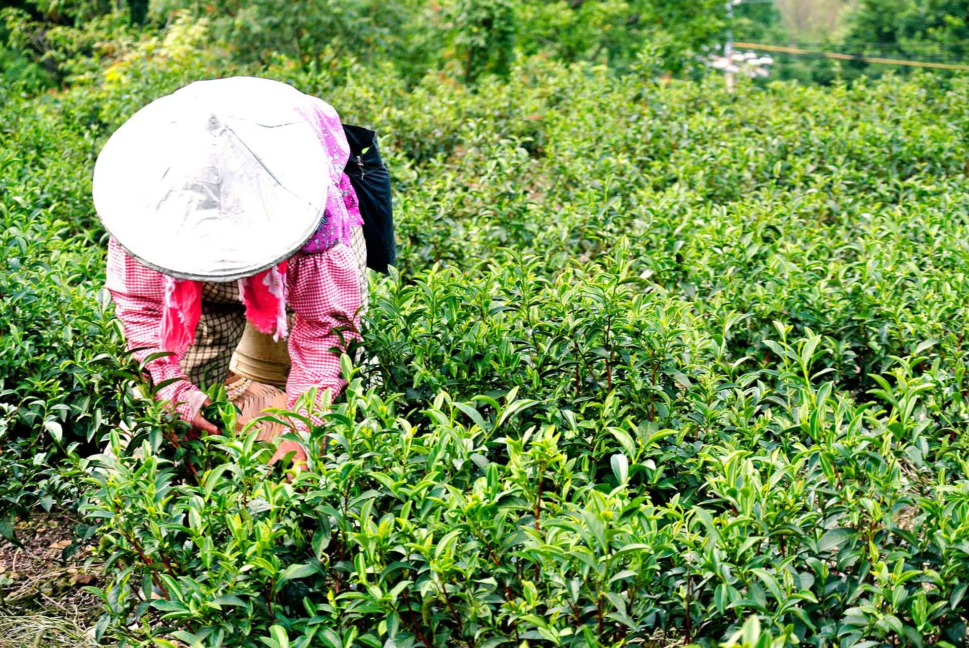 proceso del té