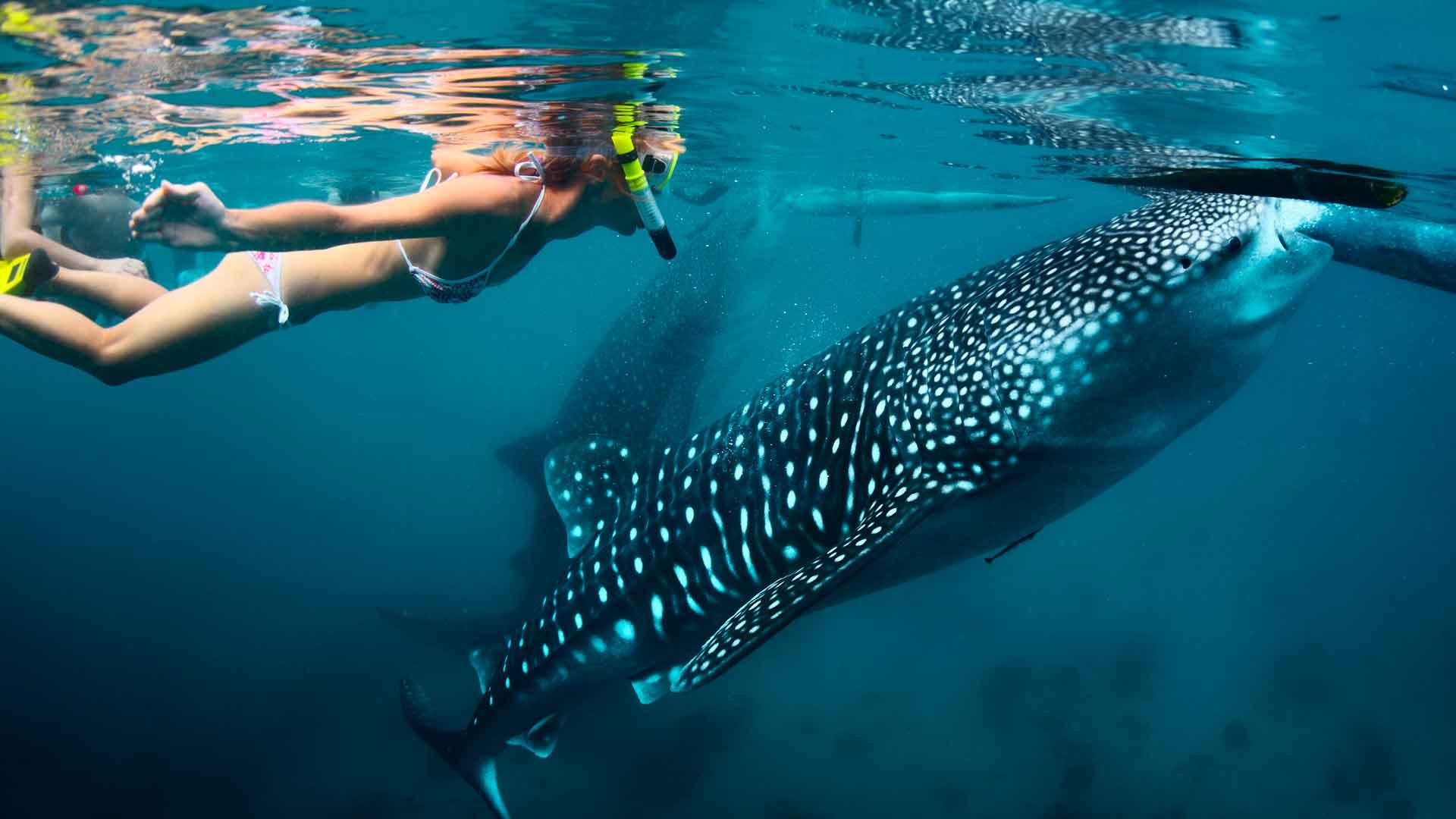 Tiburón ballena en México, regalo de la naturaleza