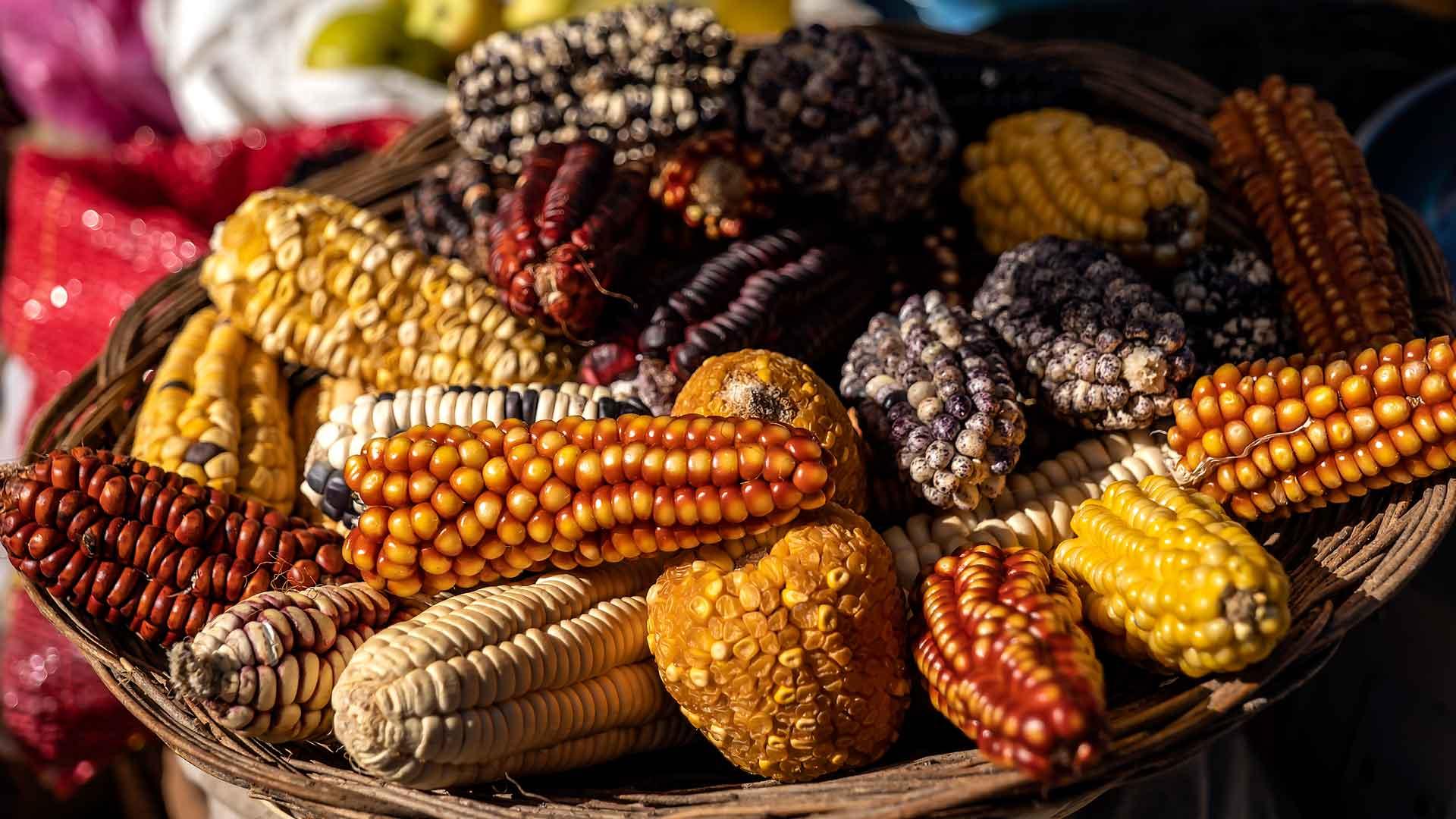 Maíz nativo: un pilar en la alimentación de México