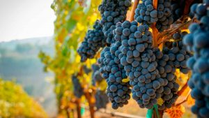Disfruta del primer Festival del Vino Queretano