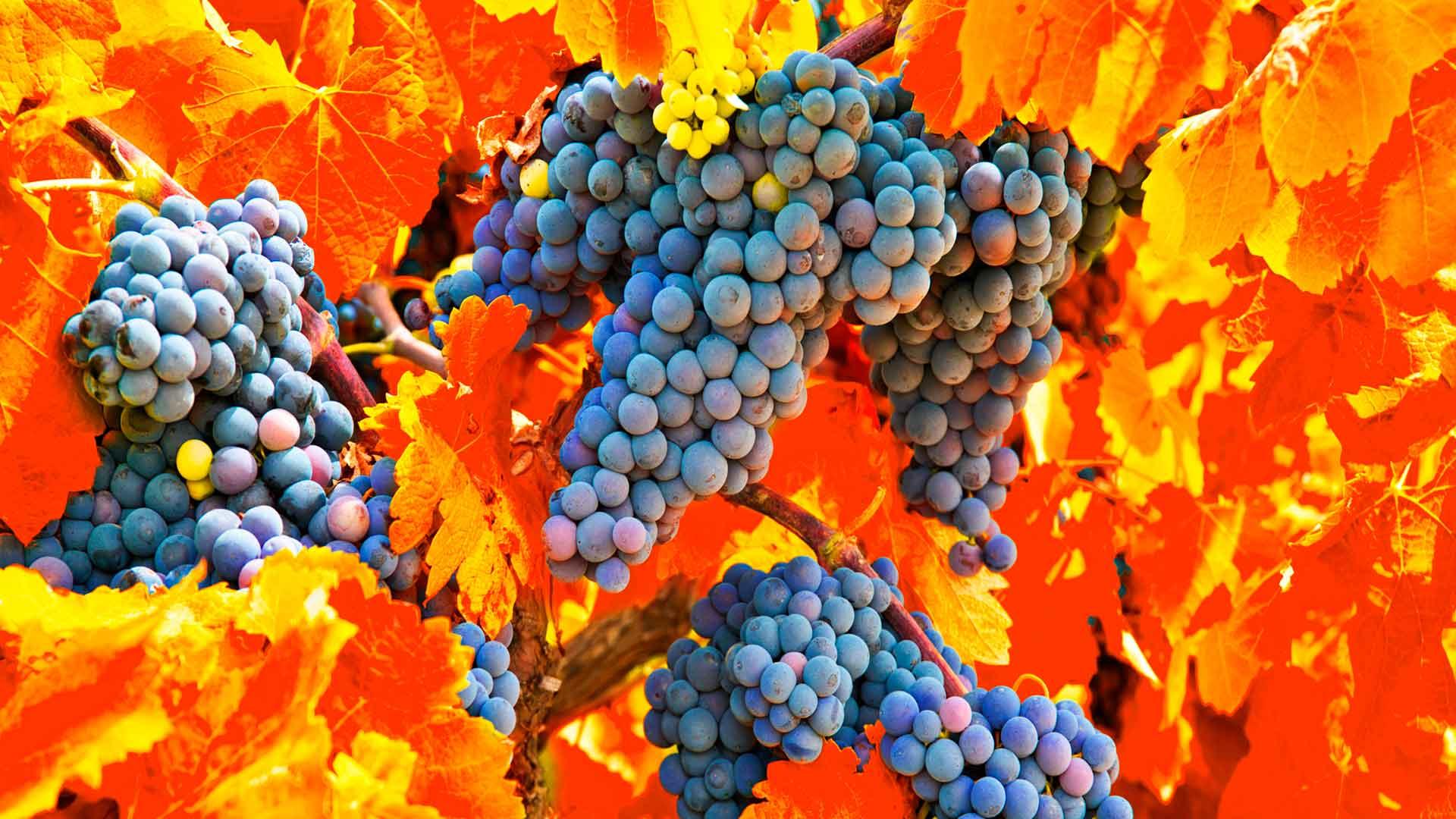 La Vendimia en Nuestra Tierra: fiesta al vino como ninguna otra