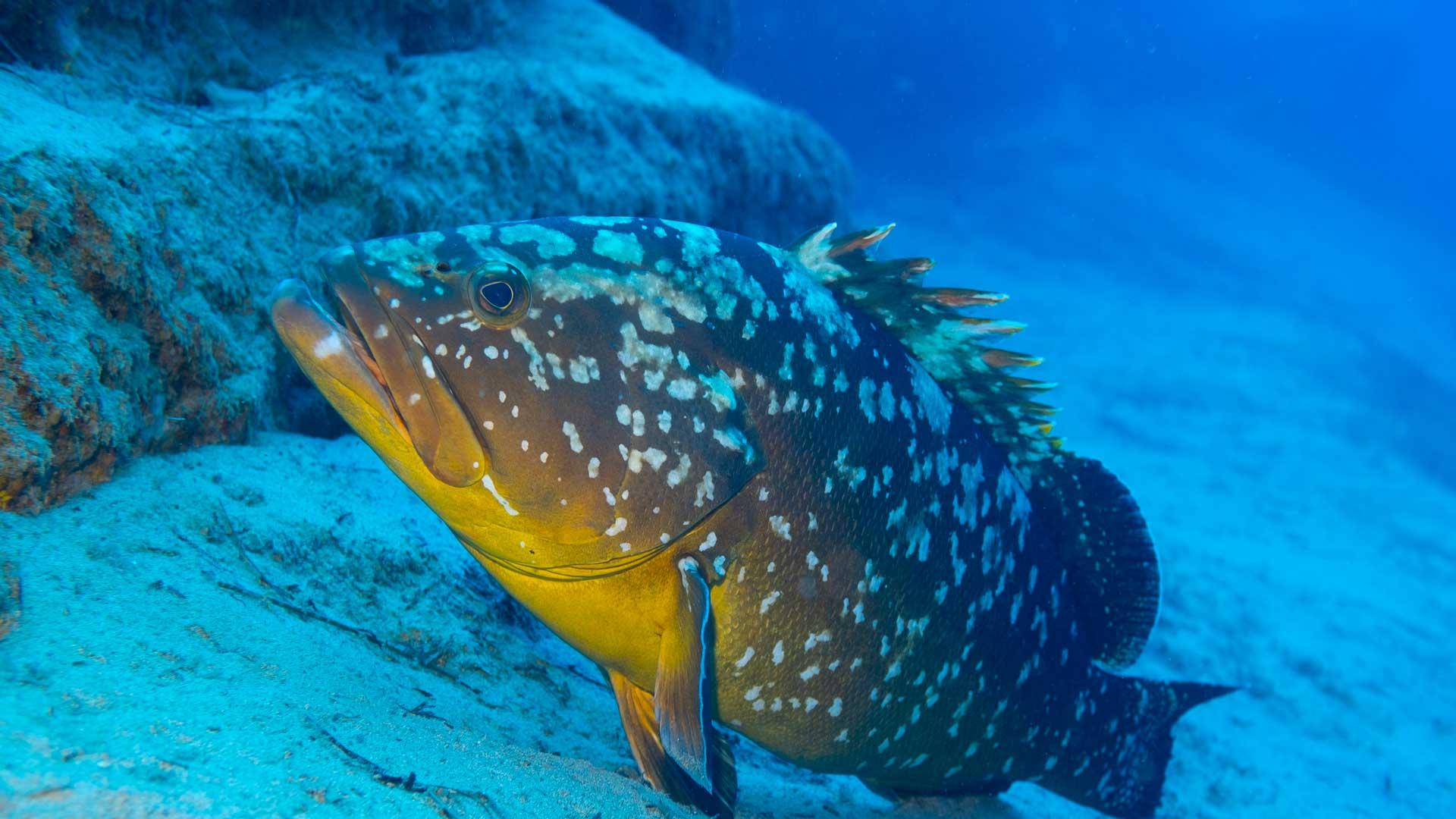 Lo que debes saber de la veda del pescado mero