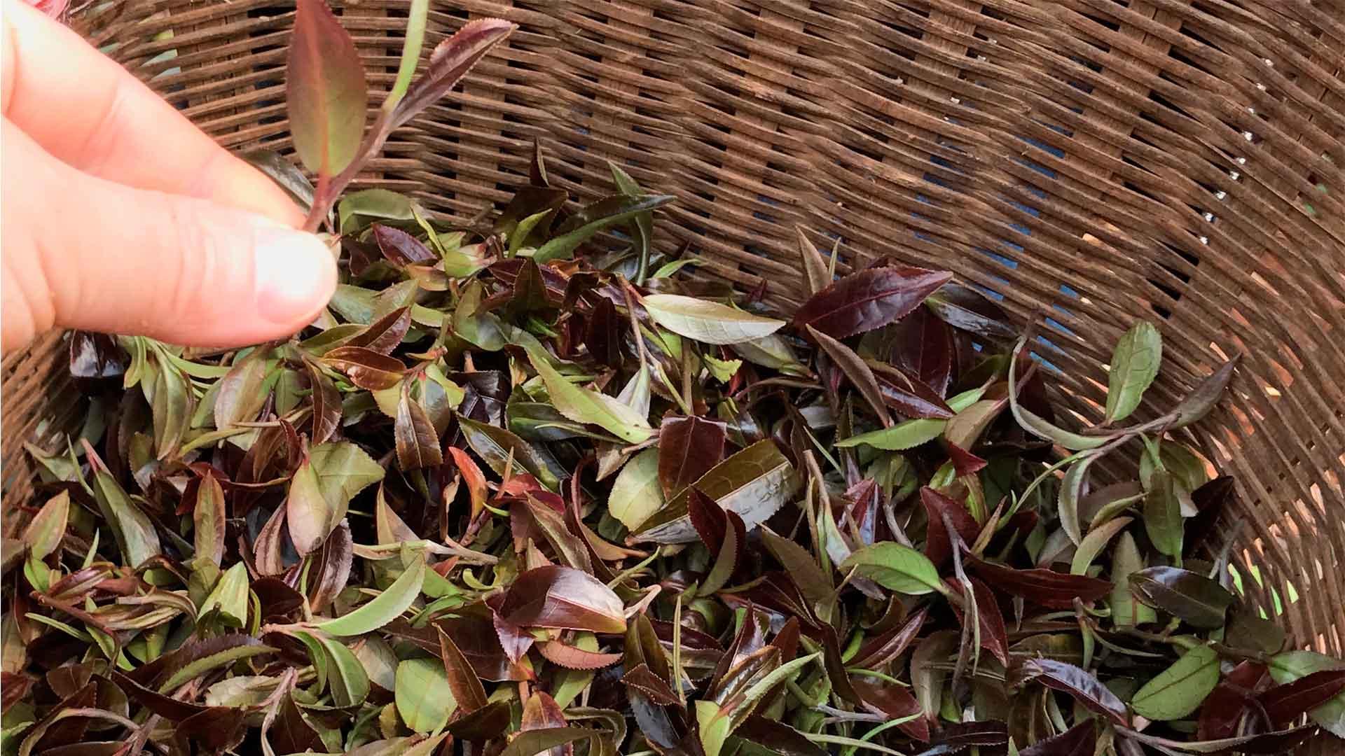 ¡Morado…! Otra expresión del té