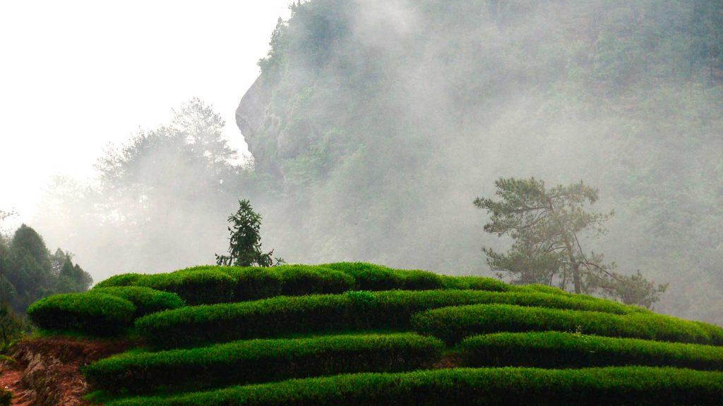¡Pi Lo Chun!: entre los más grandes tés de China