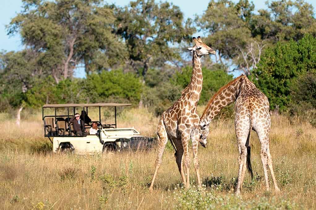 WildernessSafariJirafas