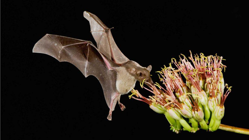 ¿Por qué es importante el murciélago para la alimentación?