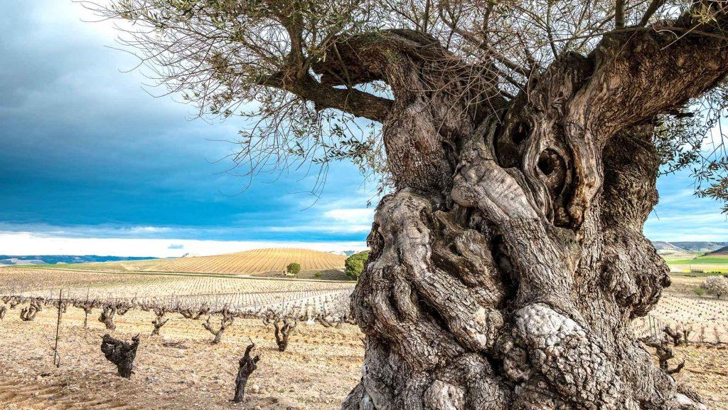 Ribera del Duero, vinos de tempranillo para el alma