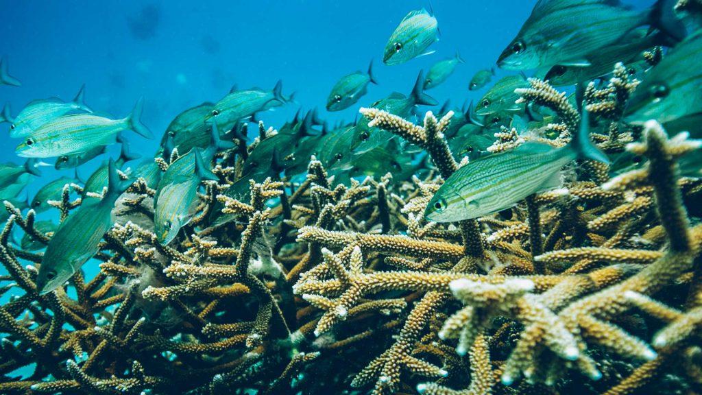Iberostar, al rescate del arrecife maya