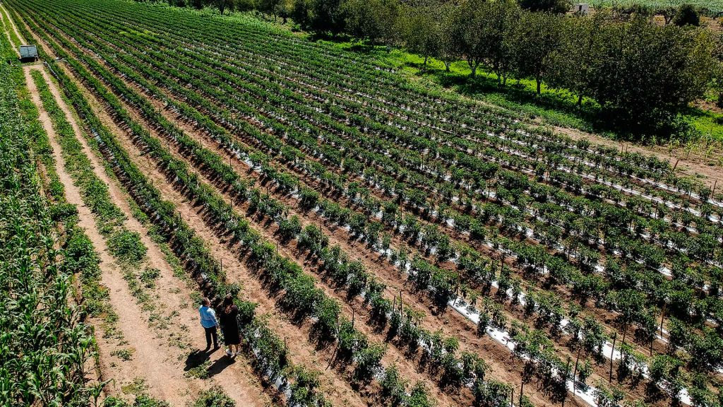 Calpan, el origen natural del chile en nogada