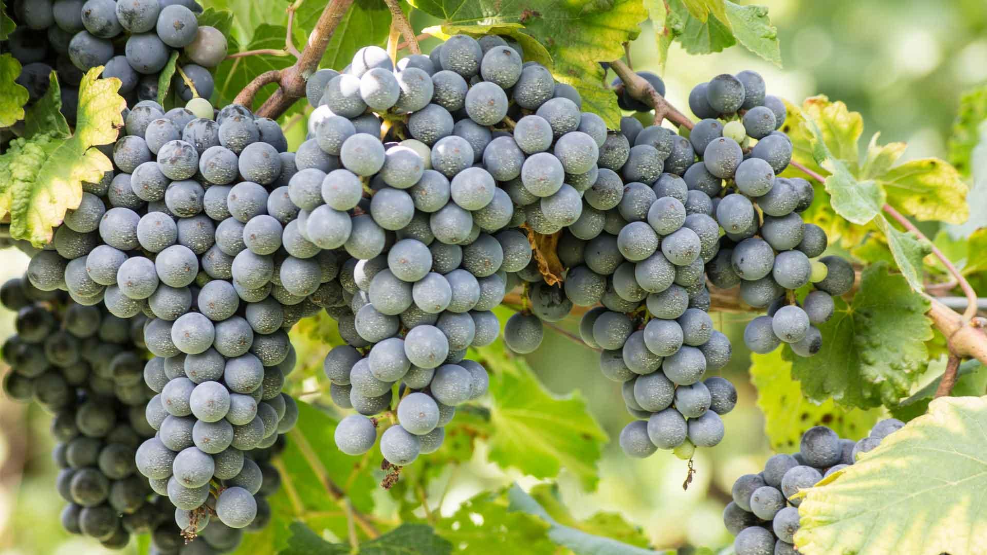 Conoce Riunite Lambrusco, de los vinos italianos más influyentes