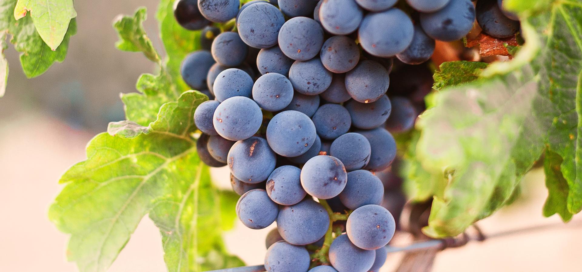 Ruta del Vino Aguascalientes_Uvas