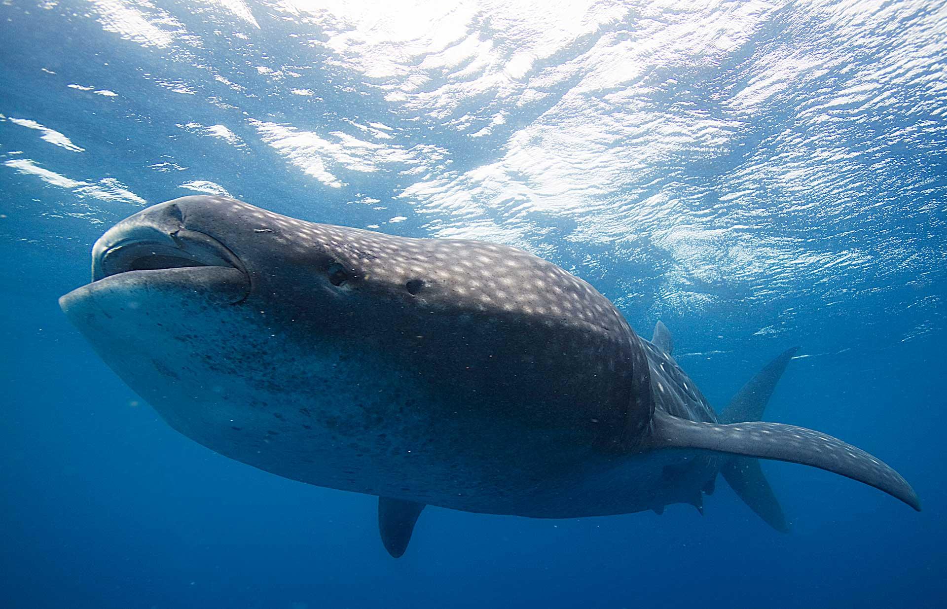 Tiburón ballena: el pez más grande del océano