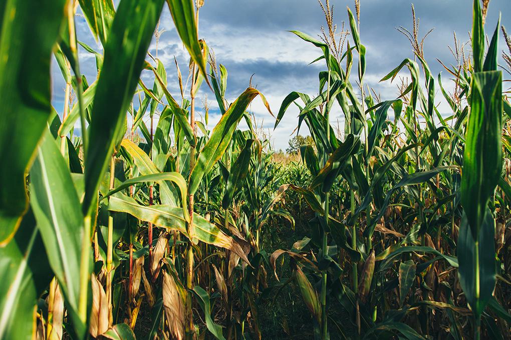Sembradío de maíz