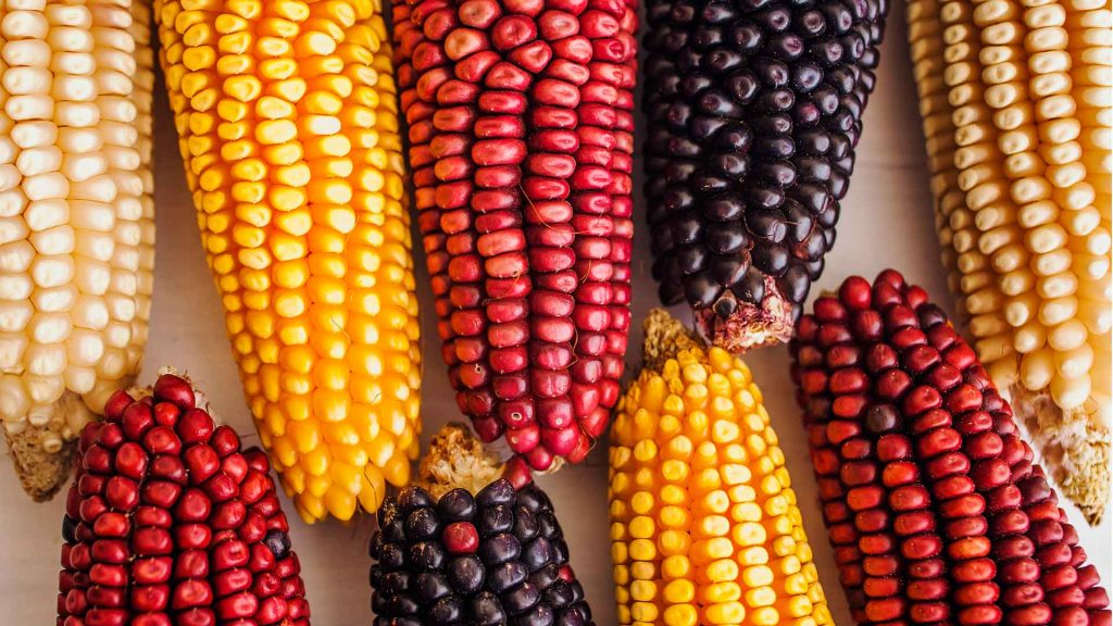 Datos que quizás no conocías del maíz
