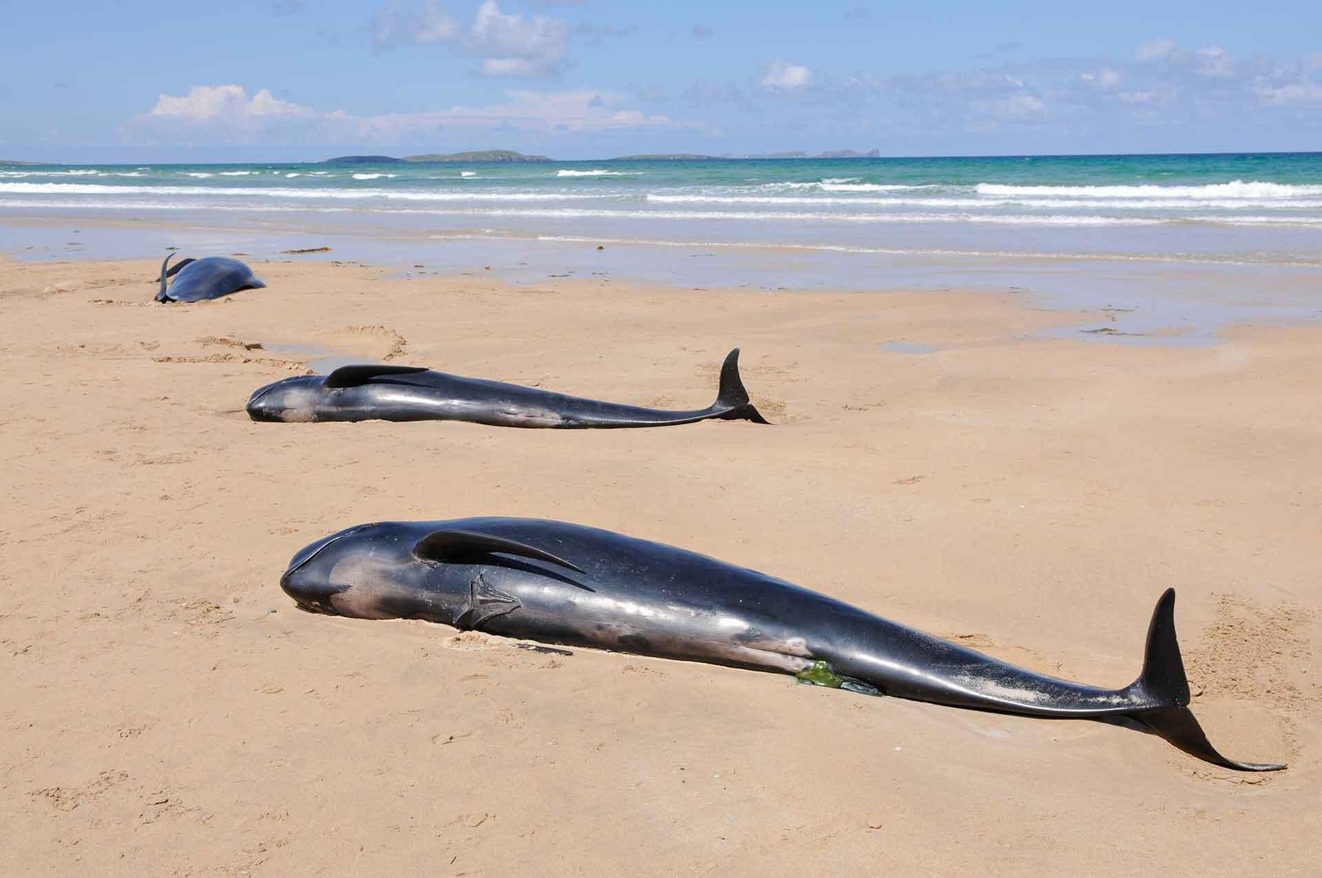 Varamiento de ballenas