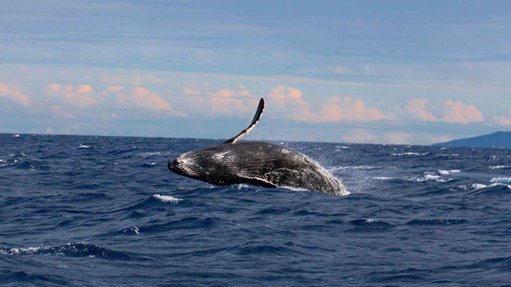 Varamiento de ballenas: todo lo que debes saber sobre este fenómeno