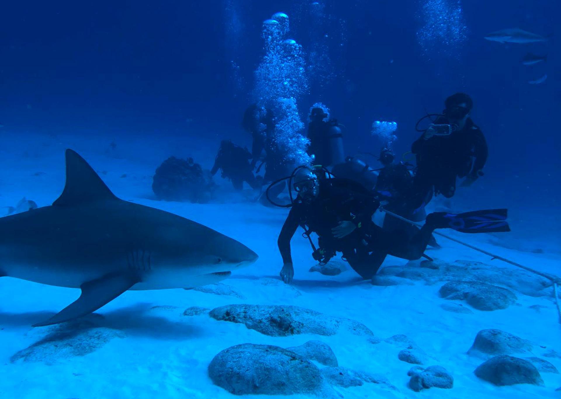 Buceo con tiburón toro