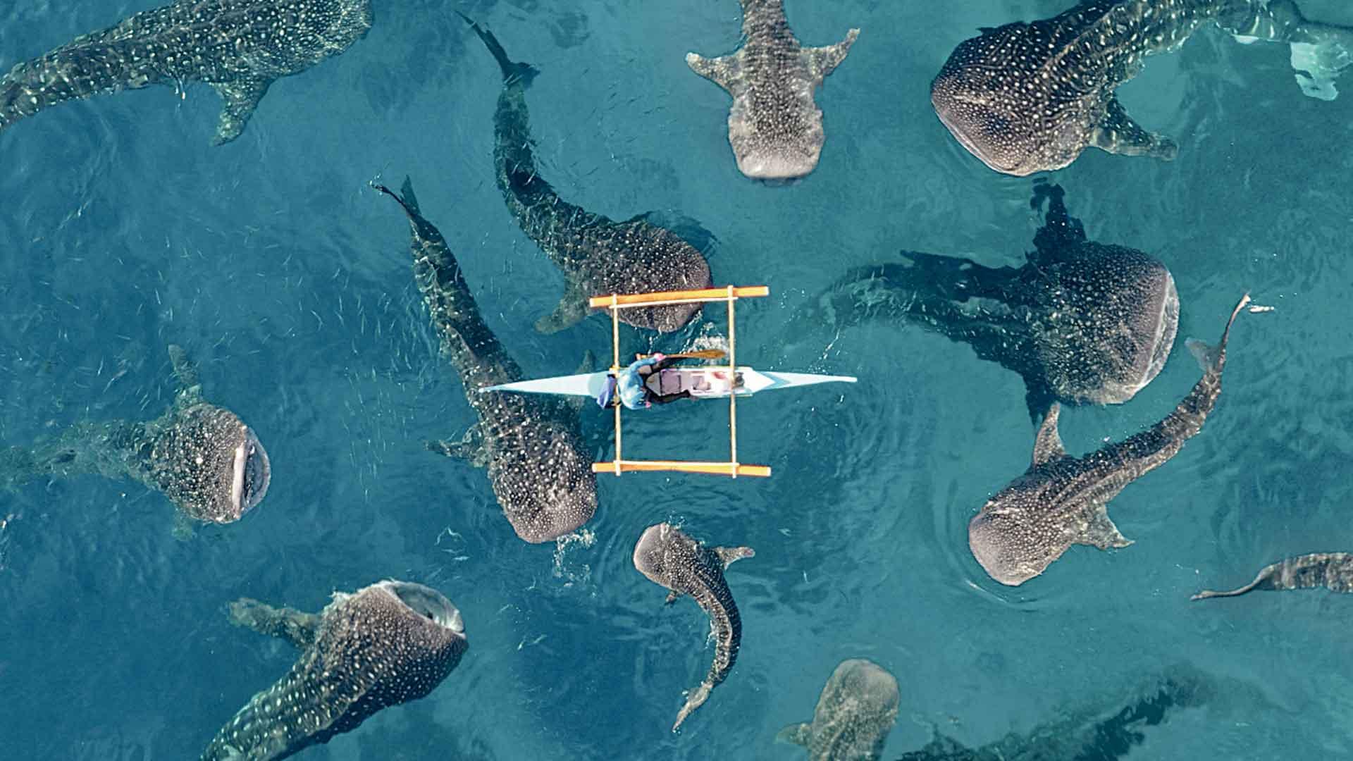 capturas aéreas whale-sharks2