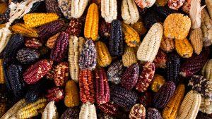 No al maíz transgénico: México gana la batalla