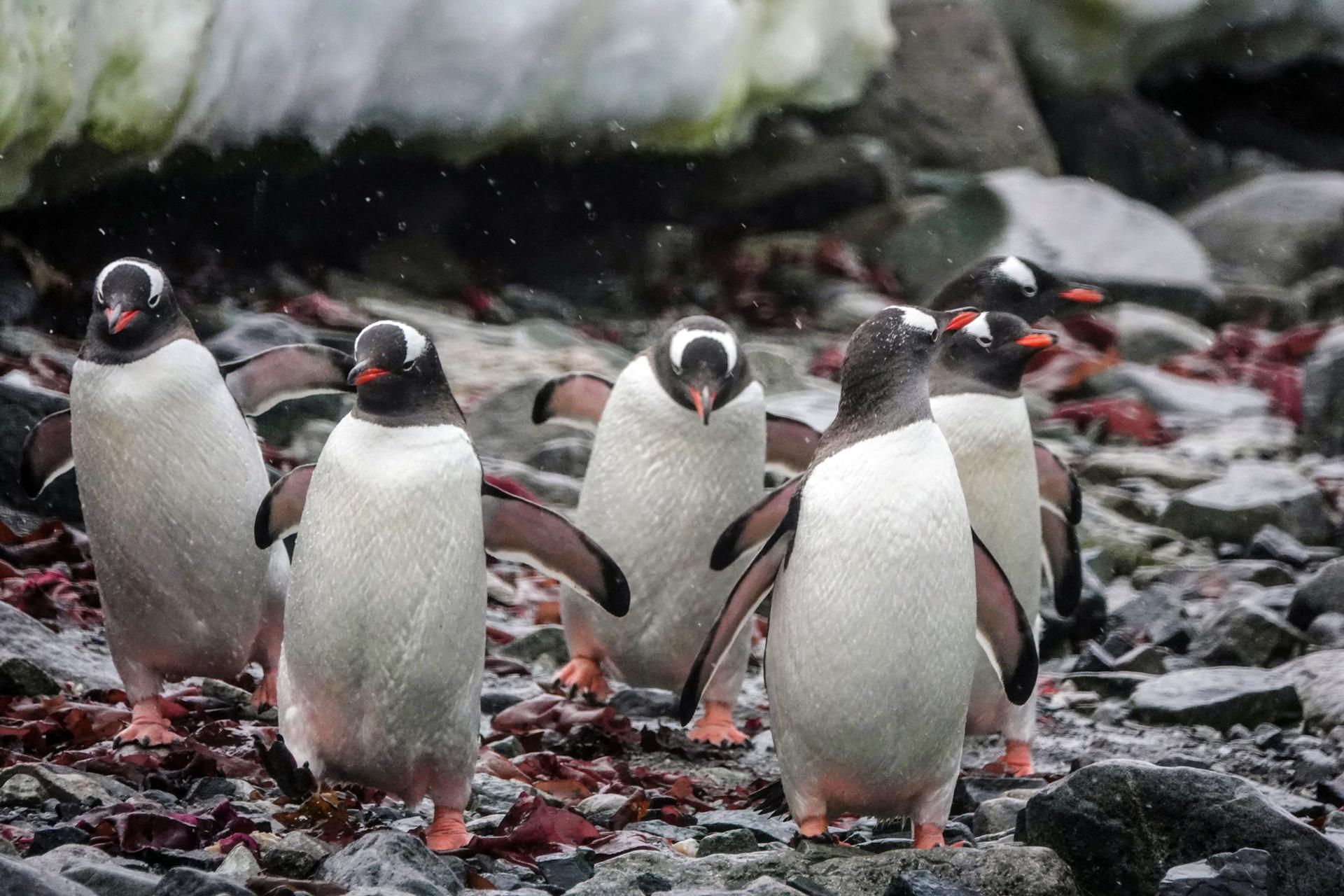 Pingüinos gentoo