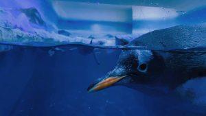 Conoce a Alex, el primer pingüino nacido en Ciudad de México