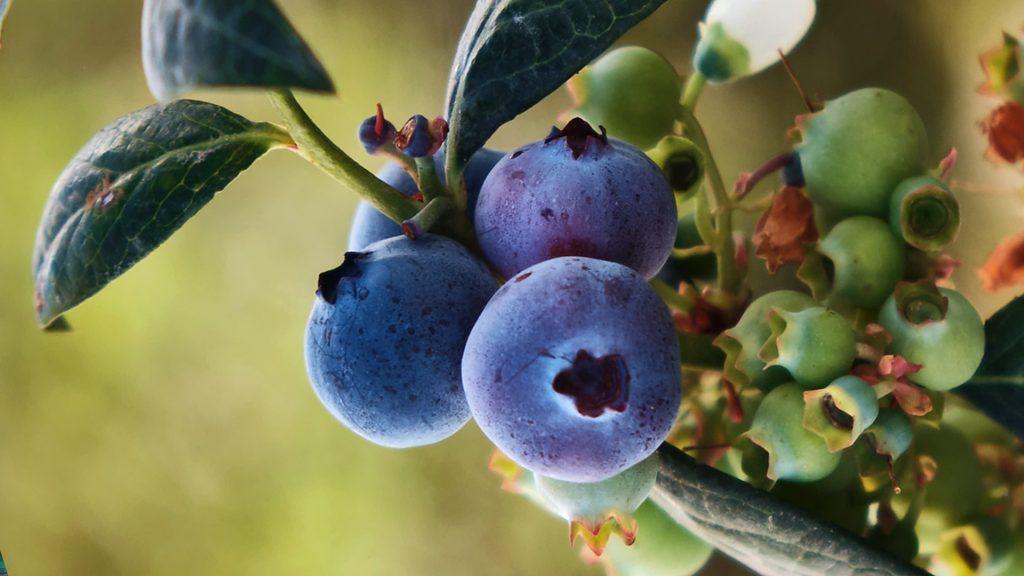Berries mexicanos: ricos, nutritivos y a tu alcance