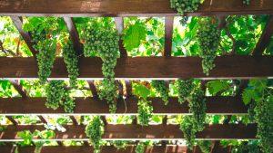 Conoce los vinos sudamericanos y la evolución de sus vides