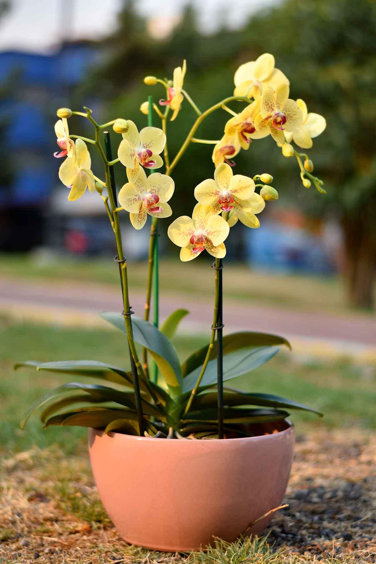 Dia-de-las-madres-orquídeas
