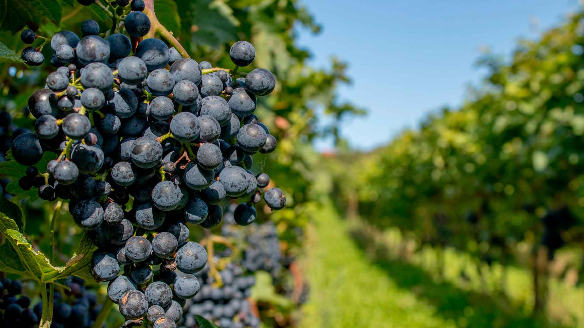 Conoce los nuevos vinos de Grandes Viñedos