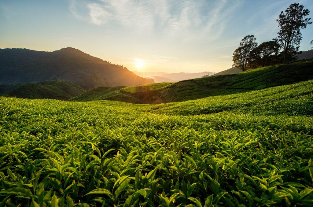 Países productores de té: nuevos horizontes de Alaska a Nueva Zelanda