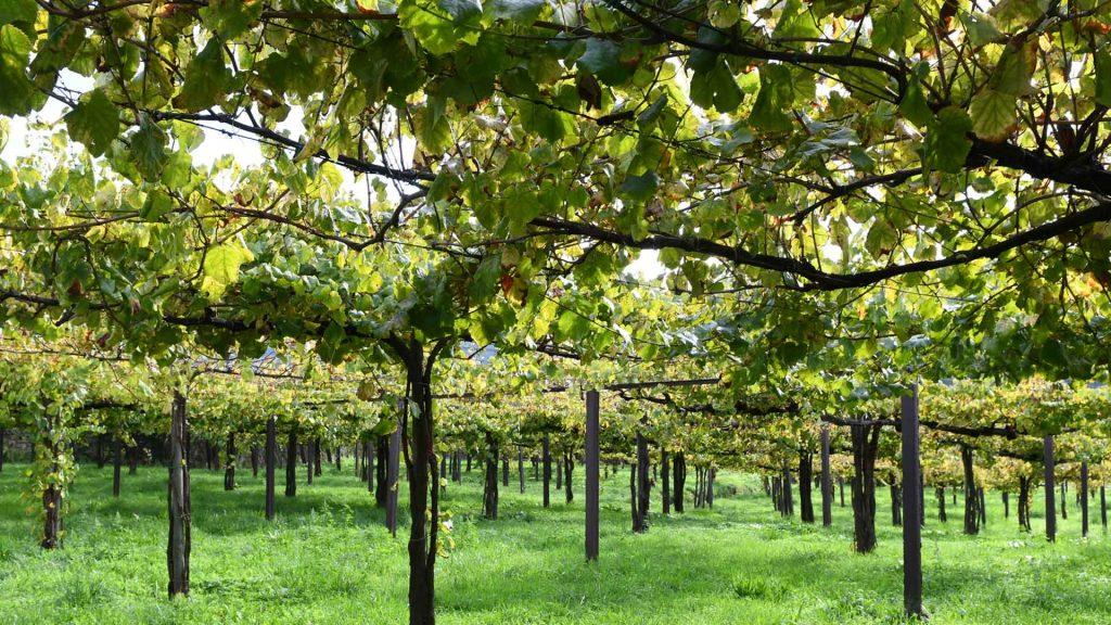 Todo lo que debes saber del vino verde