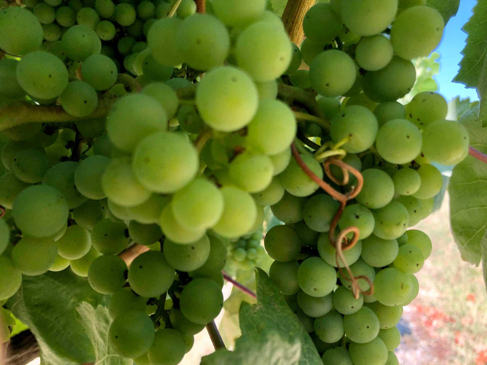 Uvas Vino Verde